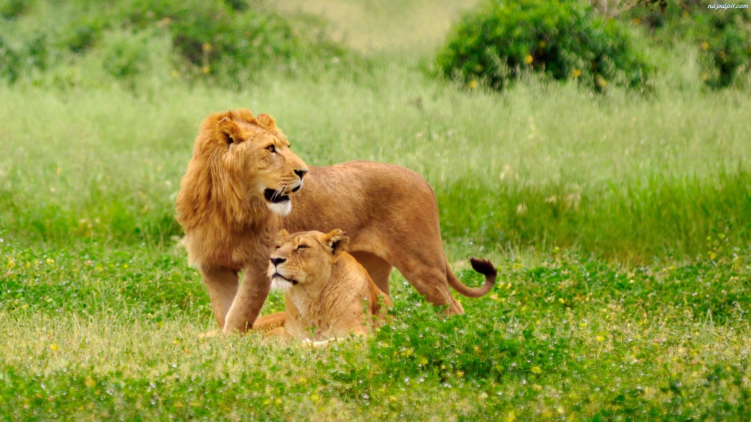 10 Top Cute Wild Animal Wallpaper Full Hd 1080p For Pc: Lwy, Trawa Na Pulpit
